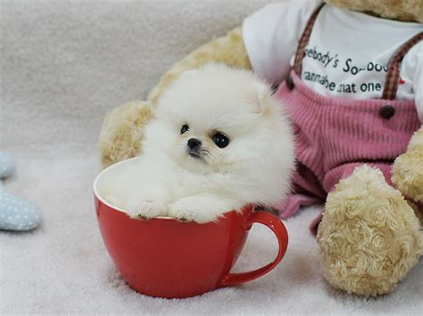 panda looking pomeranian for sale panda teacup pomeranian teacups teacup pomeranian for sale