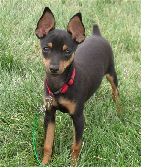 min pin bichon frise maltese poodle shih tzu designer breeds puppy sales blue ribbon