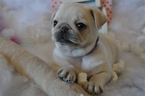 white pug puppies white pug puppies www imgkid the image kid has it