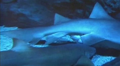 Pregnancy Recorded Live Birth Shows Shark Giving Birth To Live Daily Mail