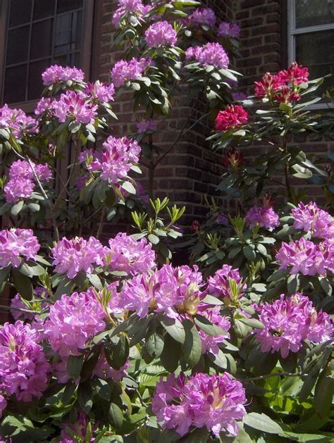 pruning flowering shrubs 25 unique pruning rhododendrons ideas on