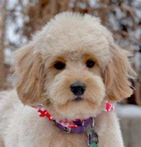 poodle cuts exles haircuts for goldendoodles haircuts models ideas