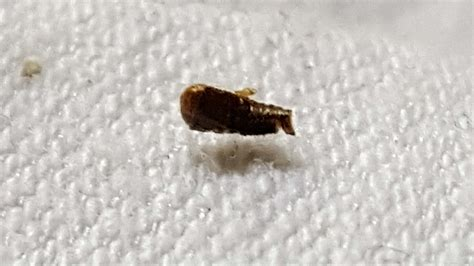 bed bug skin are these bed bugs a dermestid beetle larvae and shed