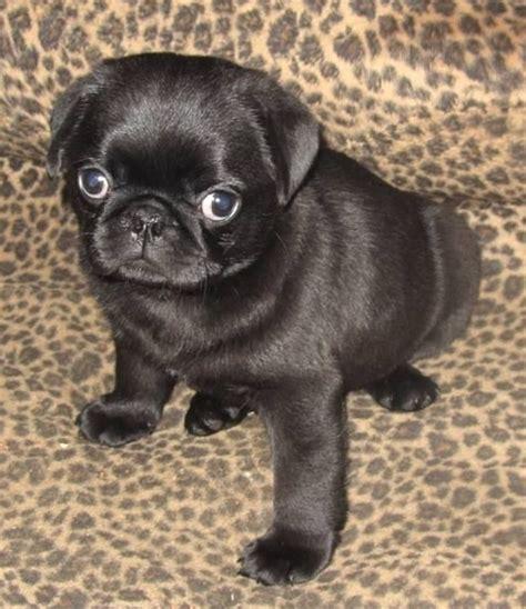 pug negro bebe m 225 s de 25 ideas incre 237 bles sobre pug negro en perritos pug negros