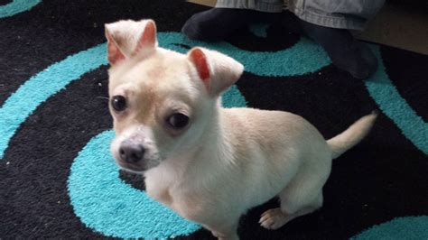 chihuahua cross pug puppies for sale uk chihuahua cross pug neutered boy redruth cornwall pets4homes