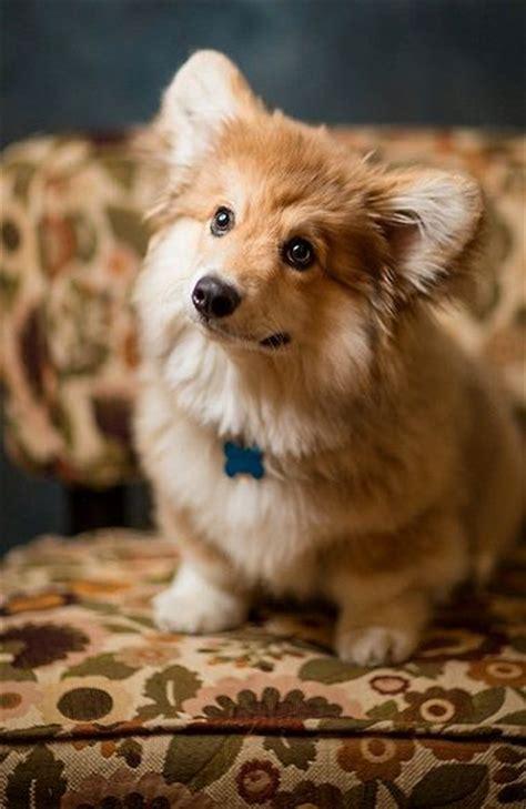 corgi beagle wlkm radio 95 best 25 doge ideas on beagle puppy