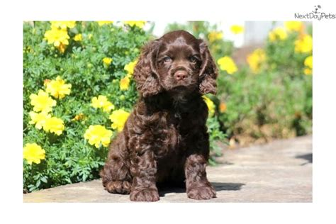 spaniel puppies for sale near me cocker spaniel puppy for sale near lancaster pennsylvania b04e6725 4d71