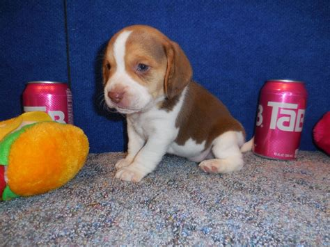 elizabeth pocket beagle puppies for sale akc elizabeth pocket beagle puppies pictures tiny beagles miniature