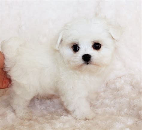 puppies for sale california pin teacup maltipoo puppies for sale reviews and photos on