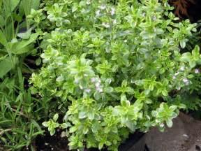 lemon thyme care growing and harvesting lemon thyme herbs