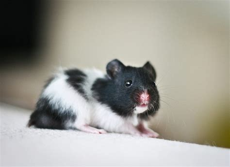 cute black  white syrian hamster  adoption london