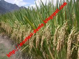 Pupuk Urea Untuk Bunga peranan dan cara aplikasi pupuk npk pada tanaman padi