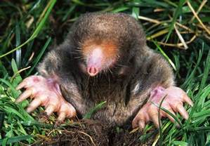 star nosed mole the life of animals