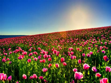 tulip field tulip field hd wallpaper 2560x1920 23638