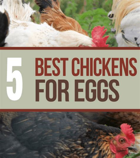 best backyard chickens for eggs 5 best chicken breeds for laying eggs