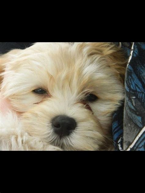 havanese personality traits what are the unique characteristics of havanese dogs quora