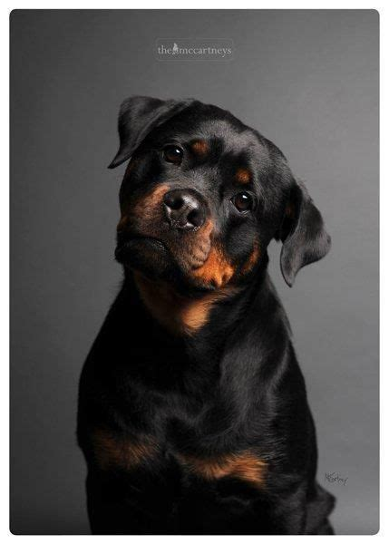 are rottweilers family guard dogs best guard rottweiler breeds picture