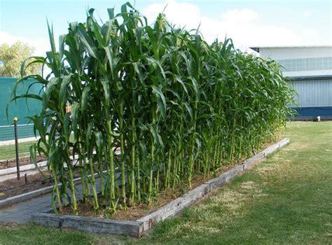 clever gardening tips  ideas growing sweet corn