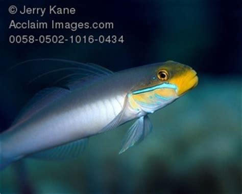 Golden Sleeper Goby by Stock Photo Of A Golden Sleeper Goby
