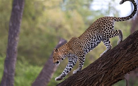 on tree leopard on tree branch wallpaper best hd wallpapers