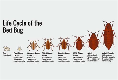 life cycle of a bed bug 15 creepy crawly facts you need to know about bed bugs