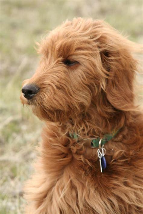 doodlebug goldendoodle goldendoodles ohio breeds picture