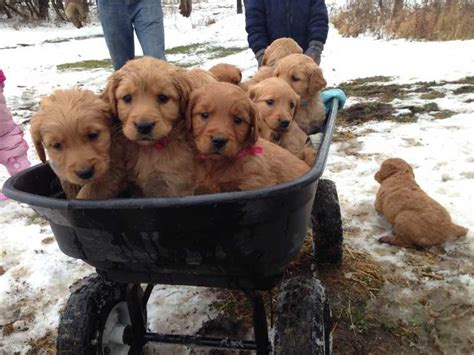 puppys for sale near me golden retriever puppies for sale near me dogs in our photo