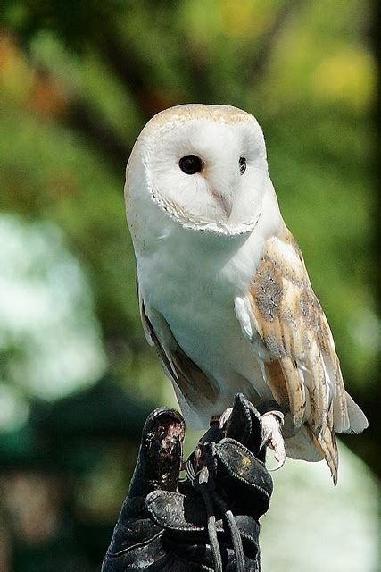 19 best images about owls on pinterest owls owl and lovely barn owl owls pinterest