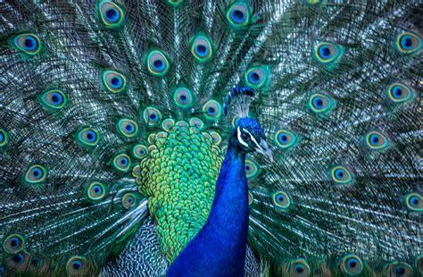 beautiful images  peacocks  photo argus