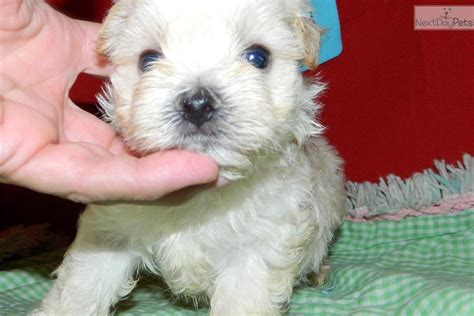 morkie puppies for sale in indiana morkie yorktese puppy for sale near south bend michiana indiana a7cdc647 a5c1