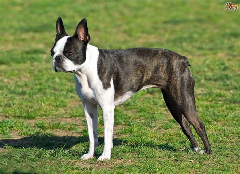 breeds and information frenchton info breeds picture