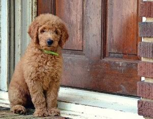 goldendoodle puppy nipping new owner advice for goldendoodle puppies