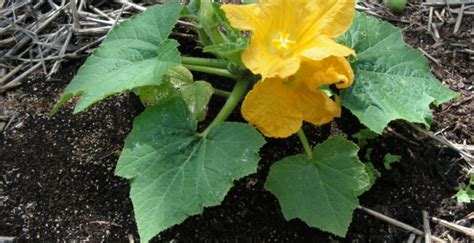 Coffee Grounds In The Garden Vegetablegardenhub Com Coffee Grounds Vegetable Garden