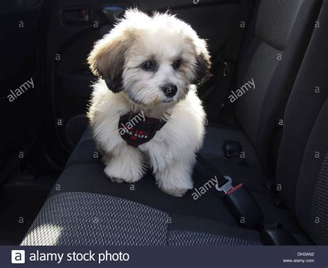 shih tzu teddy mix teddy puppy a k a zuchon mix of shih tzu and bichon frise stock photo royalty