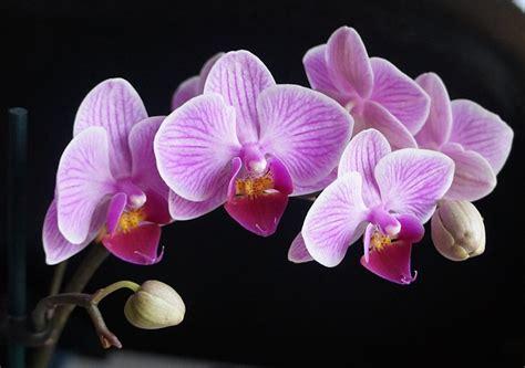 come far fiorire l orchidea orchidea phalaenopsis coltivazione idee green