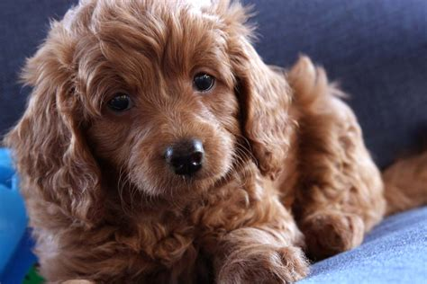 ginger doodle puppy ginger teacup goldendoodle puppy apricot goldendoodle