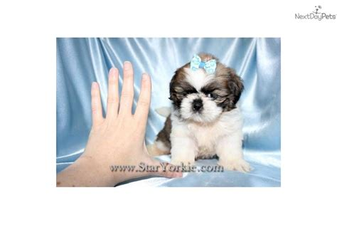 micro teacup shih tzu puppies for sale micro teacup shih tzu for sale in california breeds picture