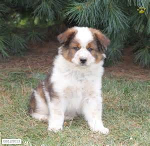 collie shepherd mix puppies for sale australian shepherd border collie mix puppies for sale oregon officialannakendrick