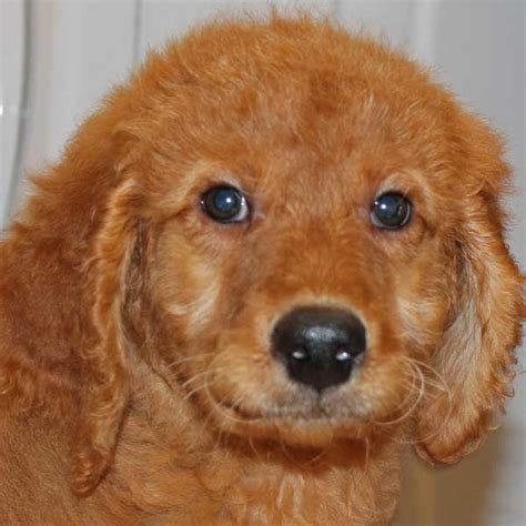 mini doodle florida mini golden doodle puppy for sale in boca raton south