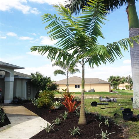 tree store florida veitchia montgomery palm tree palm plants