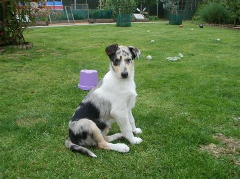 smooth collie puppies for sale collie puppy for sale breeds picture