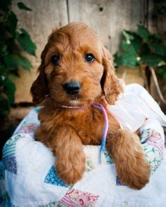 irish setter doodle puppies for sale penny girl irishdoodle irish doodle puppy irish