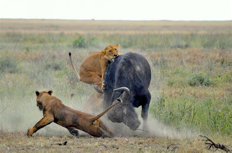 Prey Of The Predator ecologists find predator prey pattern consistent across