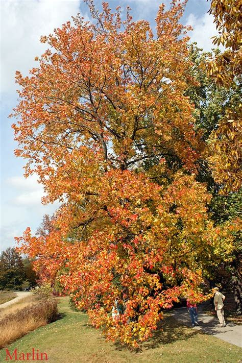 sweet gum tree trees pinterest