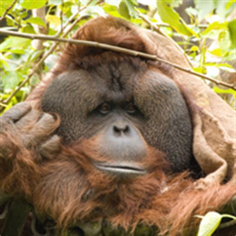 bentley orangutan asp the welfare of primates