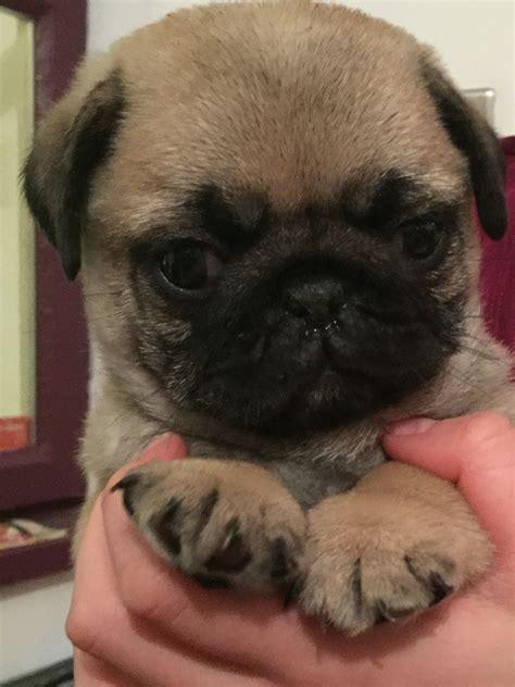 pug boy last pug boy wishes a loving homes ipswich suffolk pets4homes