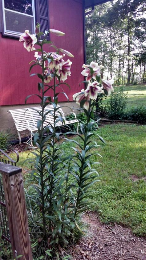 tree lily info tips  growing tree lilies   garden