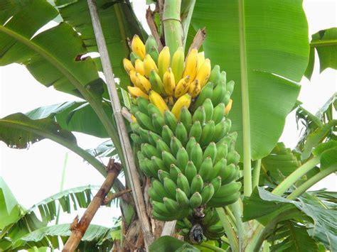 Jual Bibit Pisang Cavendish Jawa Timur jual bibit pohon pisang