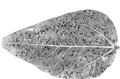 plum line pattern virus show dpv figure