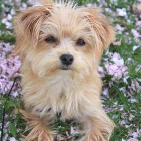 what is a morkie puppy morkie teddy morkies